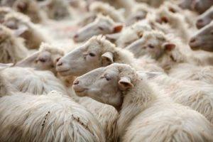 pecore_lana_ftlia